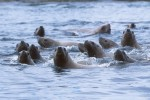 1597-16_Sealions_swimming_near_Green_Island