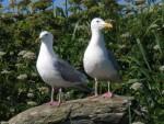 26 Seagulls (4)