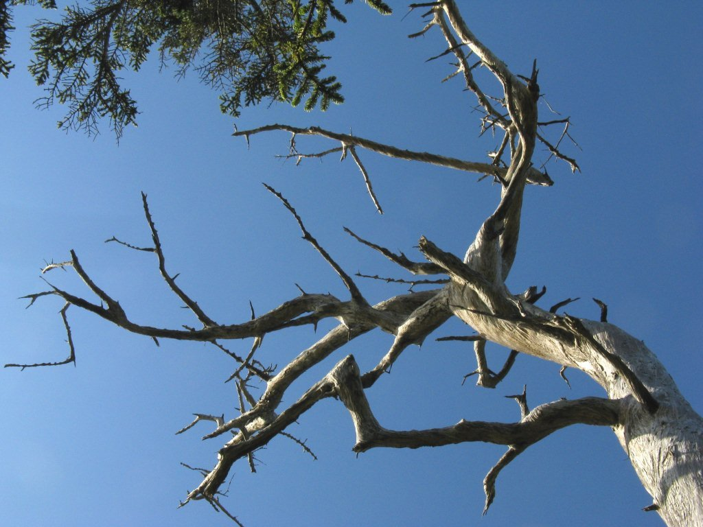 Grey Ghost Tree